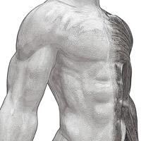 muscles du haut du corps
